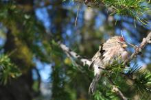 Birds in our larch forests