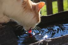 Cat drinking out of the cows' water trough
